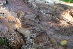 Sturmschaden!  Waben eines wilden Bienenvolkes aus einem umgestürzten Bienenbaum