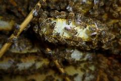 Naturwabenbau in einem Bienenkorb