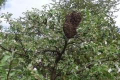 Ein Mutterschwarm Ende April