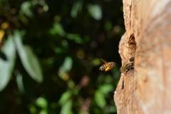 Pollenbiene im Anflug