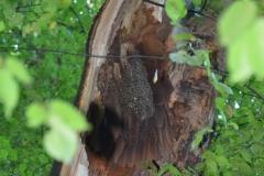 Wildes Bienenvolk nach Sturmschaden freigelegt
