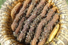 Natürlicher Wabenbau in einem Bienenkorb