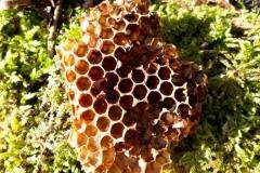 Im Wald gefunden: Ein Stück Bienenwabe aus Naturbau mit bebrüteten Drohnenzellen. Wo sind die Bienen?