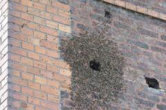 Wildes Bienenvolk hinter einer Klinkerfassade, überwintert, geschwärmt, überwintert, geschwärmt