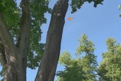 Eine Linde in einem Schlosspark als Bienenbaum