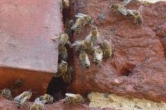 Bienenvolk lebt im Mauerwerk eines historischen Burgturmes